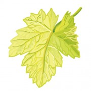 Simple grapes leaf design vector 02 free