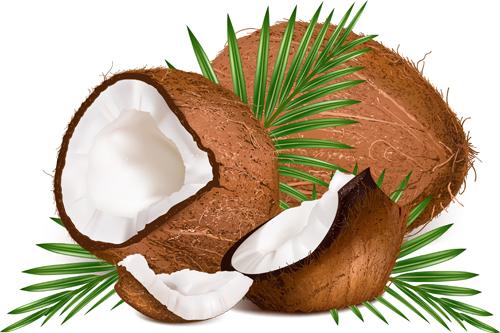 realistic coconut design vector 01 free free download