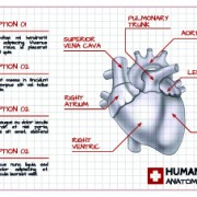 Human heart medical vector graphics 02 free